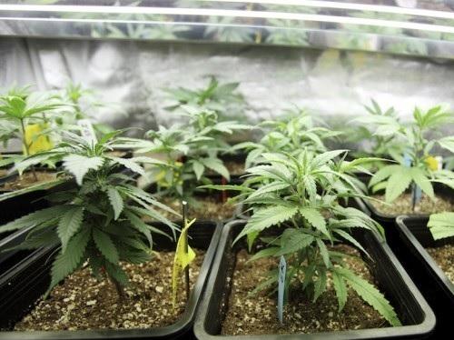 marijuana in Canada