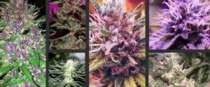 Cannabis Flower in Canada