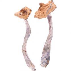 Koh-Samui-magic-mushroom